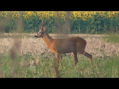 WILD Jaeger Hungarian Roe Deer Bowhunt (Bogenjagd) Compilation, Season 6