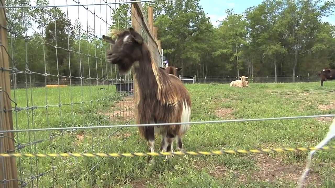 R Goats Good Pets South Georgia F...