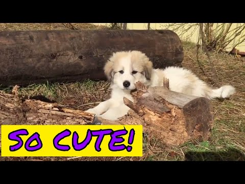 Fluffy 8 week old Great Pyrenees Puppies
