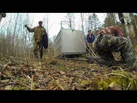 Chú Hổ Hung Dữ Nhất Thế Giới Trở Về Rừng- Cảnh Tượng Vô Cùng Kích động
