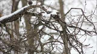Blackbird (Sarah McLachlan)