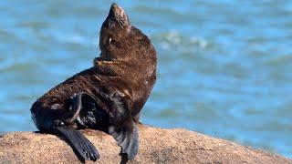 Lobos Marinos - Cabo Polonio, Rocha, Uruguay - Eared Seals - Sea Lions