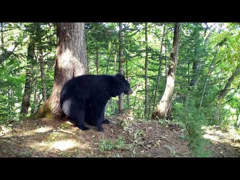 Гималайский медведь (часть 3)