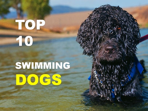TOP 10 SWIMMING DOG BREEDS