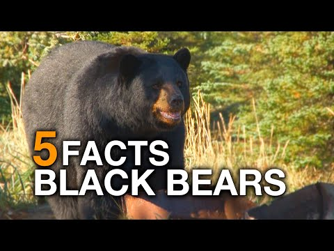 5 FACTS | North American Black Bear