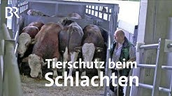 Rinderschlachthof: Mehr Tierschutz am Schlachthof Waldkraiburg | Unser Land | Doku