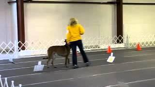 Belgian Malinois Shepherd Dog Rally Advance Obedience