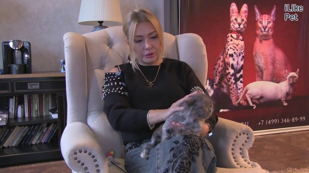 На сервисе объявлений olx. Ua украина легко и быстро можно купить котенка породы. Продам голубоглазого белоснежного экзота шоу класса.