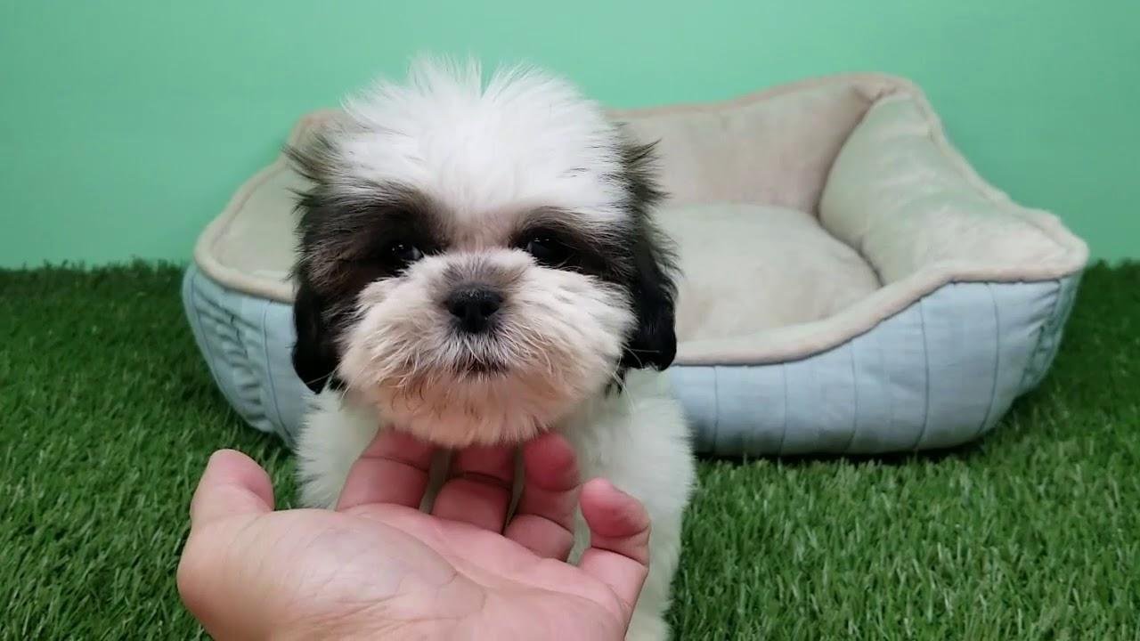 Shihtzu Puppy Male Roger 1399 Youtube