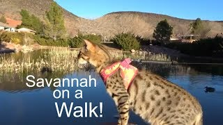 Taking our F3 Savannah Cat on a walk to the park!