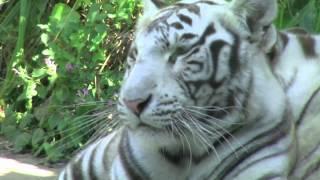 Grandes Felinos - Zoológico de Santillana del Mar