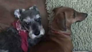 Blind Schnauzer And Mini Dachshund Snuggle