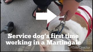 Service dog's first time working in Martingale - a step away from the prong