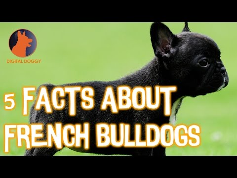 5 Fun French Bulldog Facts!