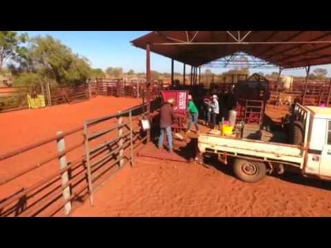 Breckon Cattle Equipment Pneumatic Branding Cradle