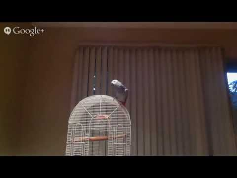 African Grey Parrot Live Part 1
