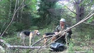 Открытие охоты на зайца с гончей