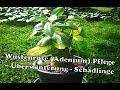 Wüstenrose (Adenium) | Pflege, Überwinterung, Schädlinge