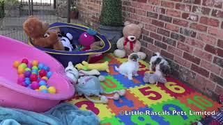 Little Rascals Poochon Puppies