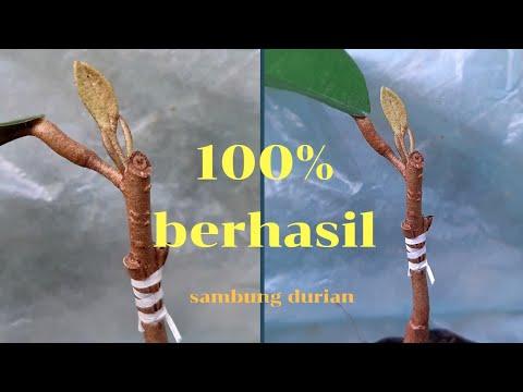 100% Berhasil Sambung Pohon Durian Sederhana