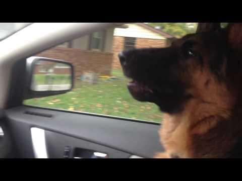 German Shepherd barking at neighbors dog