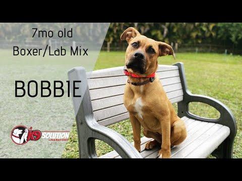 7MO OLD BOXER LAB MIX 'BOBBIE'/DOG TRAINING