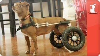Unadoptables - Chihuahua Named Beatrice Gets Around In Wheelchair