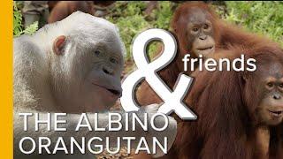 The World's Only Albino Orangutan & Friends   Love Nature