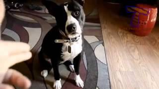 Видеоприколы  собаки умирают по команде!!!