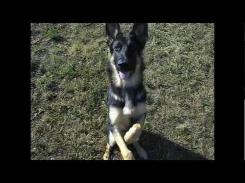 Lexus (the german shepherd) tricks - 6 months.avi