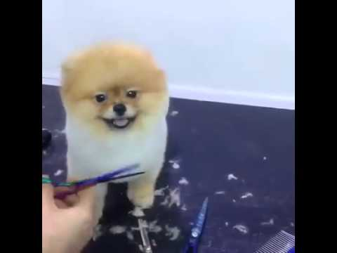 Pomeranian Gets A Haircut