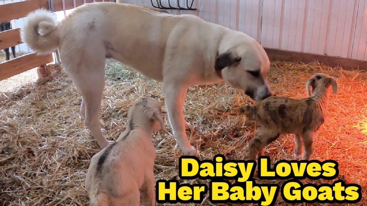 Trained Livestock Guardian Dog Guards Baby Goat Kids | She Takes Her Job Serious