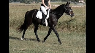 BLACKIE'S LOVELY SOFT TROT LOOSE REIN LARGE OPEN PADDOCK
