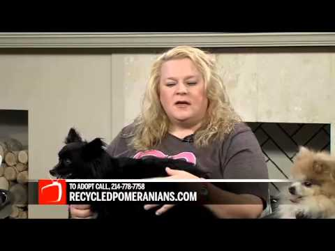 Recycled Pomeranians Youtube