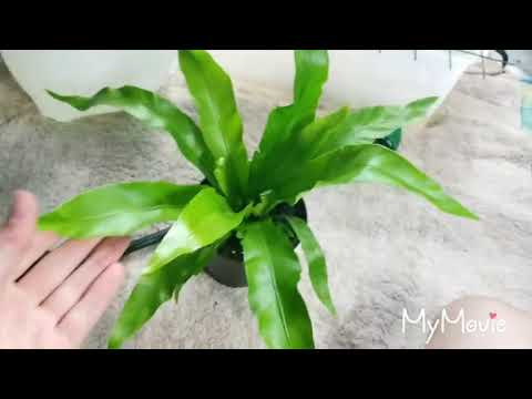 Pictures of birds nest fern