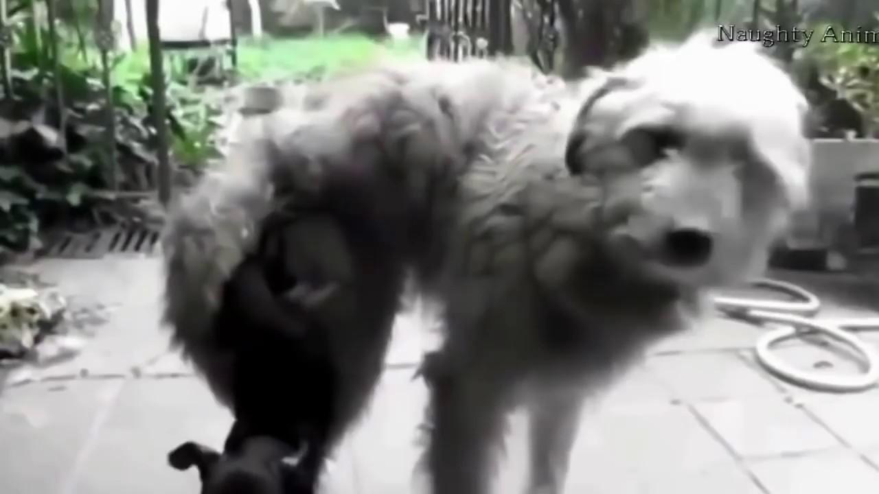Những Con Chó Giao Phối Cười Ra Nước Mắt Youtube