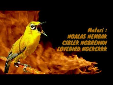 Best mastering pleci materi nembak ngebren