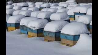 Зимовка пчёл без утепления