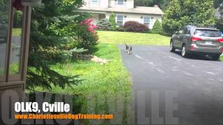 "1.5 Year Old Boglen Terrier ""posey"" Before/after Video 