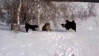 Лайки красиво работают по зверю! Охота на кабана с собаками.