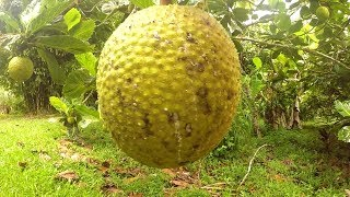 Breadfruit Harvested and Cooked on a Campfire