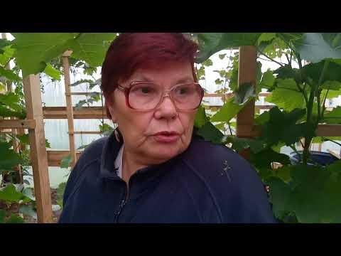 Виноград на Урале. Мой урожай. Как укрыть виноград во время похолодания?