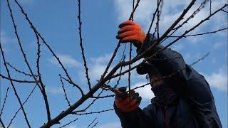 おいしいモモが育ちますように…枝のせん定作業始まる 岡山・新見市