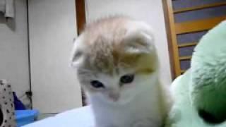 Little Scottish Fold kitten