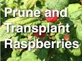 How to Grow, Prune and Transplant Raspberries