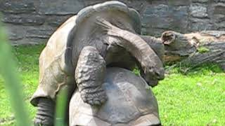 A Theme at the Zoo (tortoise sex)