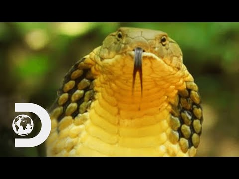 Longest Snake On Earth Eats A Deer Whole | Wildest Islands Of Indonesia