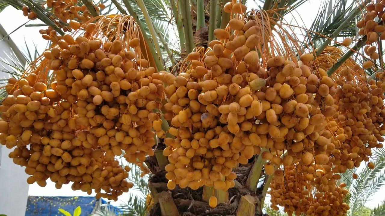 Độc đáo vườn chà lá Thái siêu trái ở Làng Hoa Sa Đéc