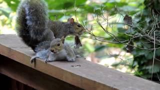 Mama Squirrel Rescues Baby