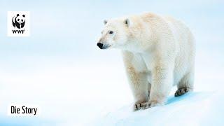 Der Kampf um die Arktis Eisbären | WWF & Sybille Klenzendorf